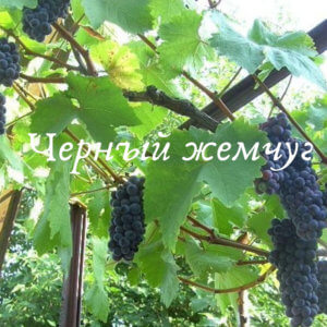 грозди черного жемчуга