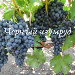 черный изумруд грозди