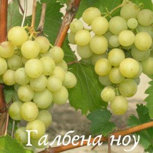 Галбена ноу сорт винограда