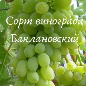 сорт баклановский