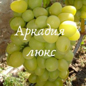 сорт винограда аркадия люкс