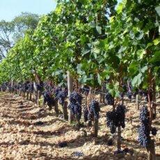 расстояние между виноградом при посадке разных сортов