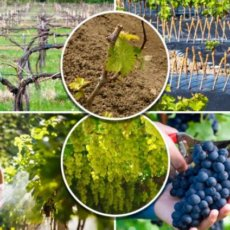 при какой температуре открывать виноград после зимы
