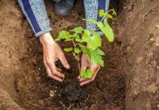 удобрения при посадке винограда