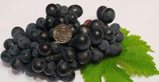 виноград Корунд